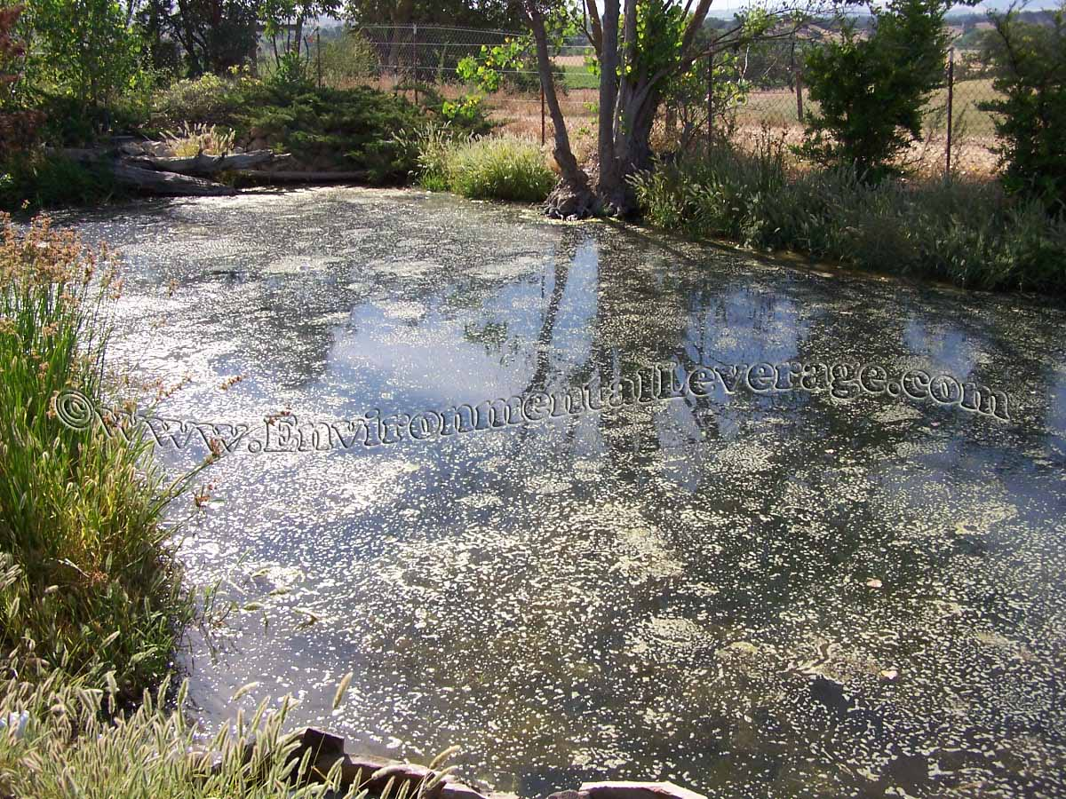 Algae control in ponds with fish house of fishery lovers for Ornamental fish pond supplies